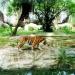 Ngày 29 tháng 7 hàng năm là Ngày quốc tế bảo tồn Hổ